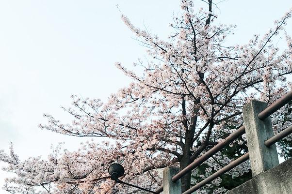 夙川でお花見をしました