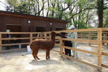 アルパカ  敷地内にあるアルパカ牧場では動物との触れ合いを大切にしています