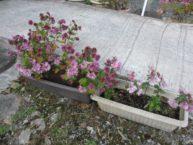 玄関入口の庭には季節の花を植えたりしています